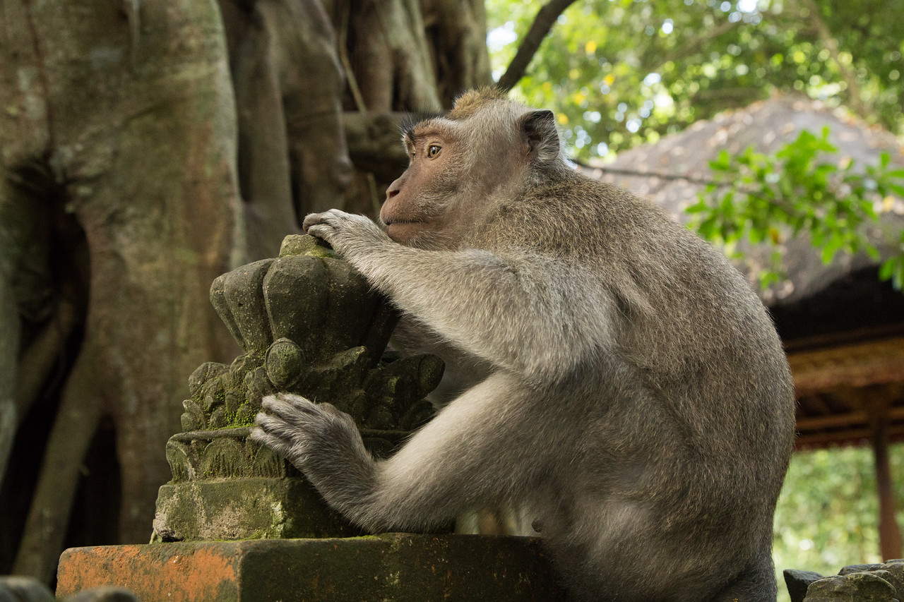Monkey Rests at a Temple at the Monkey Forest in Bali