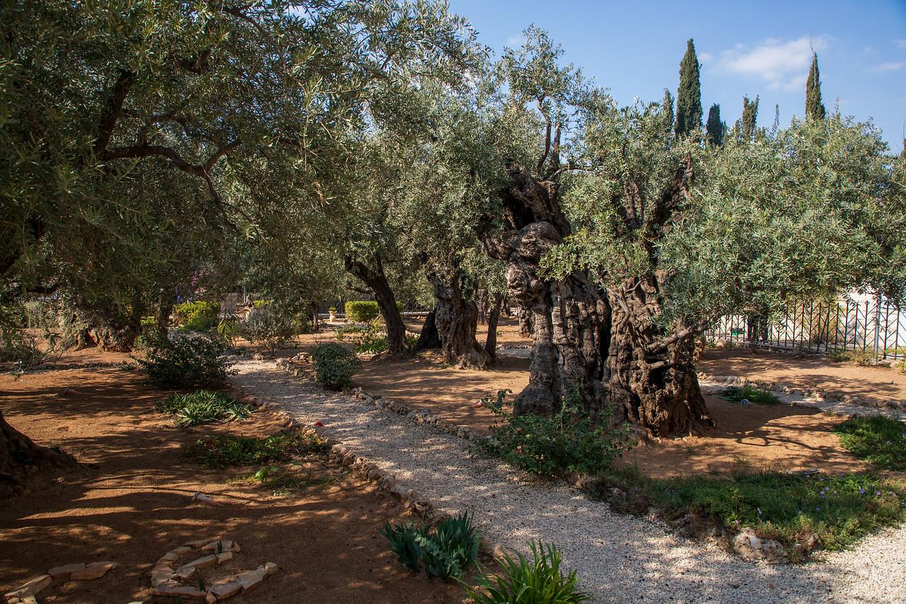 Garden of Gethsemane on the Mount of Olives in Jerusalem