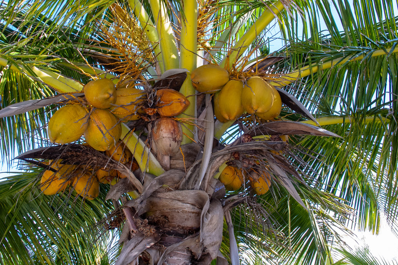 Coconut Tree with LYD