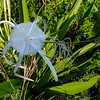 Spider Lilly on the Yucatan