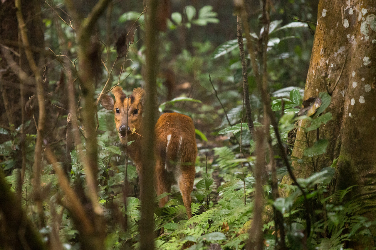 Barking Deer in Chitwan National Park