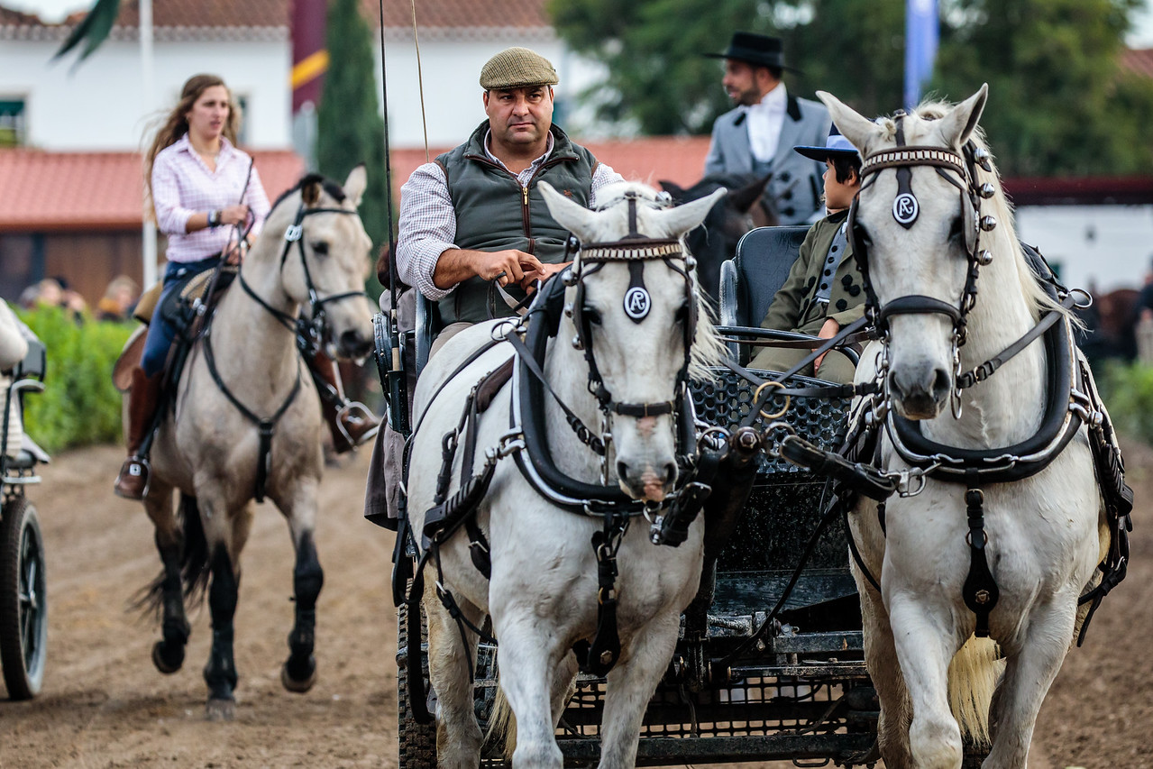 Beautiful White Horses Pulling A Wagon at Golega National Horse Fair (Feira Nacional do Cavalo)