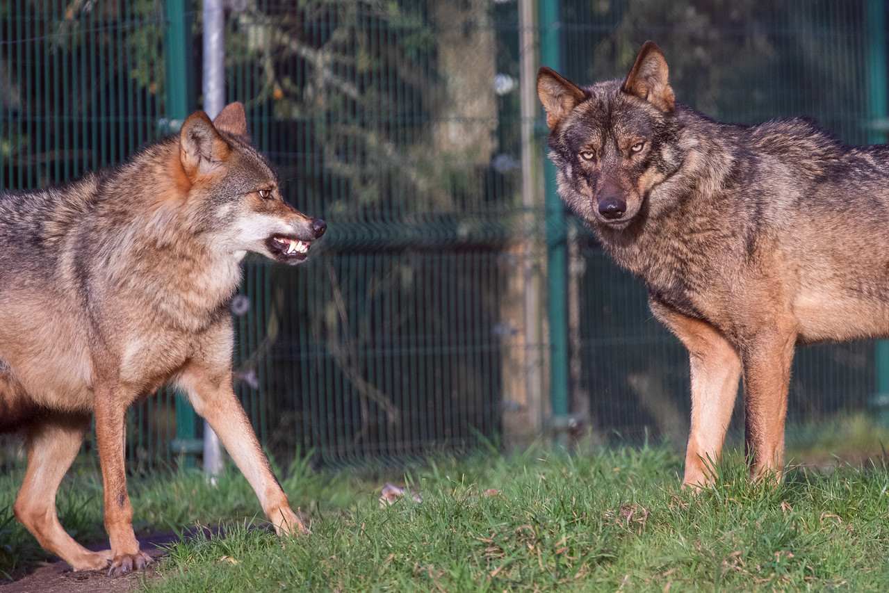 Photo of Iberian Wolves Defending Territory at the Iberian Wolf Sanctuary in Portugal