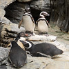 Penguins at Oceanário de Lisboa (Oceanarium)