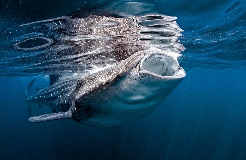 Whale Shark 20120718 0084