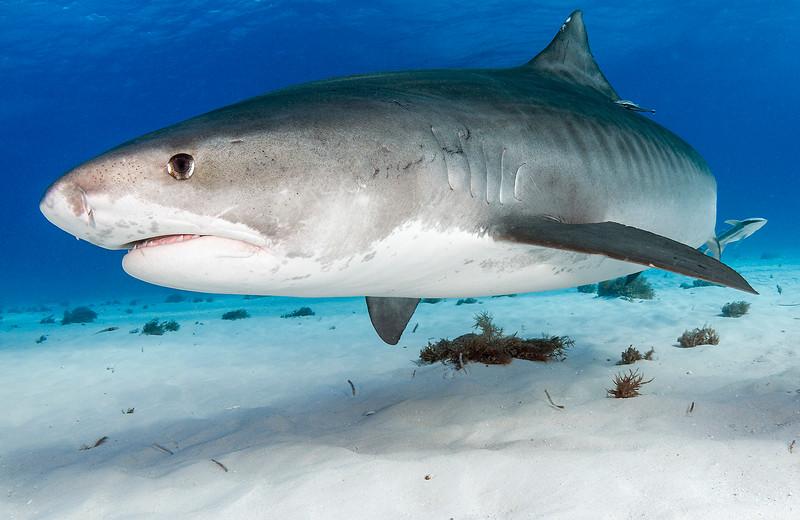 Tiger Shark 20140127 0583