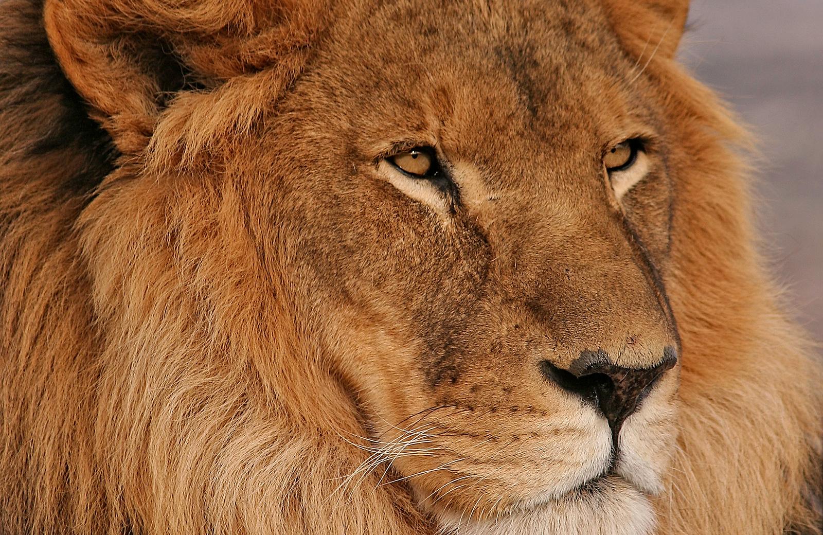 Lion 20071229 5946