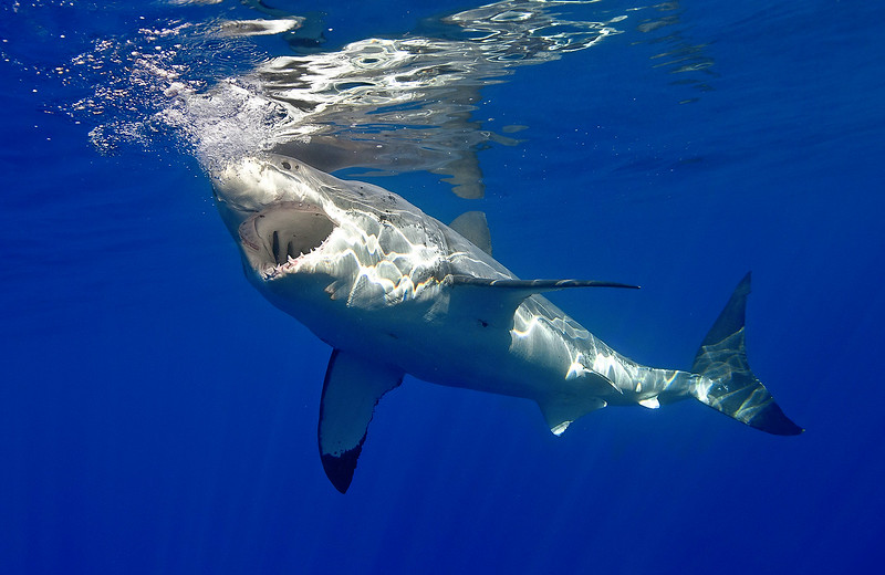 Great White Shark 2011 7548