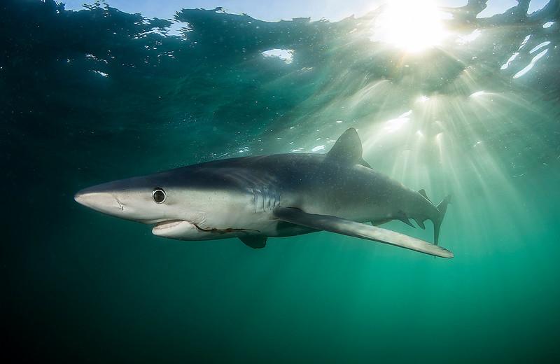 Blue Shark 20150731 0304