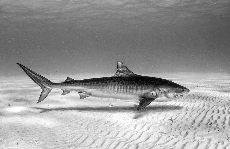 Tiger Shark 20140127 0200