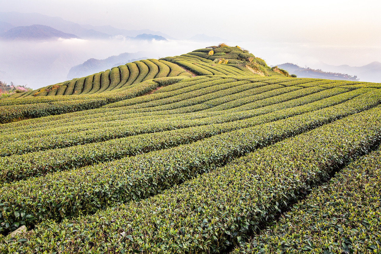 Photo: Tea Fields of Alishan, Taiwan