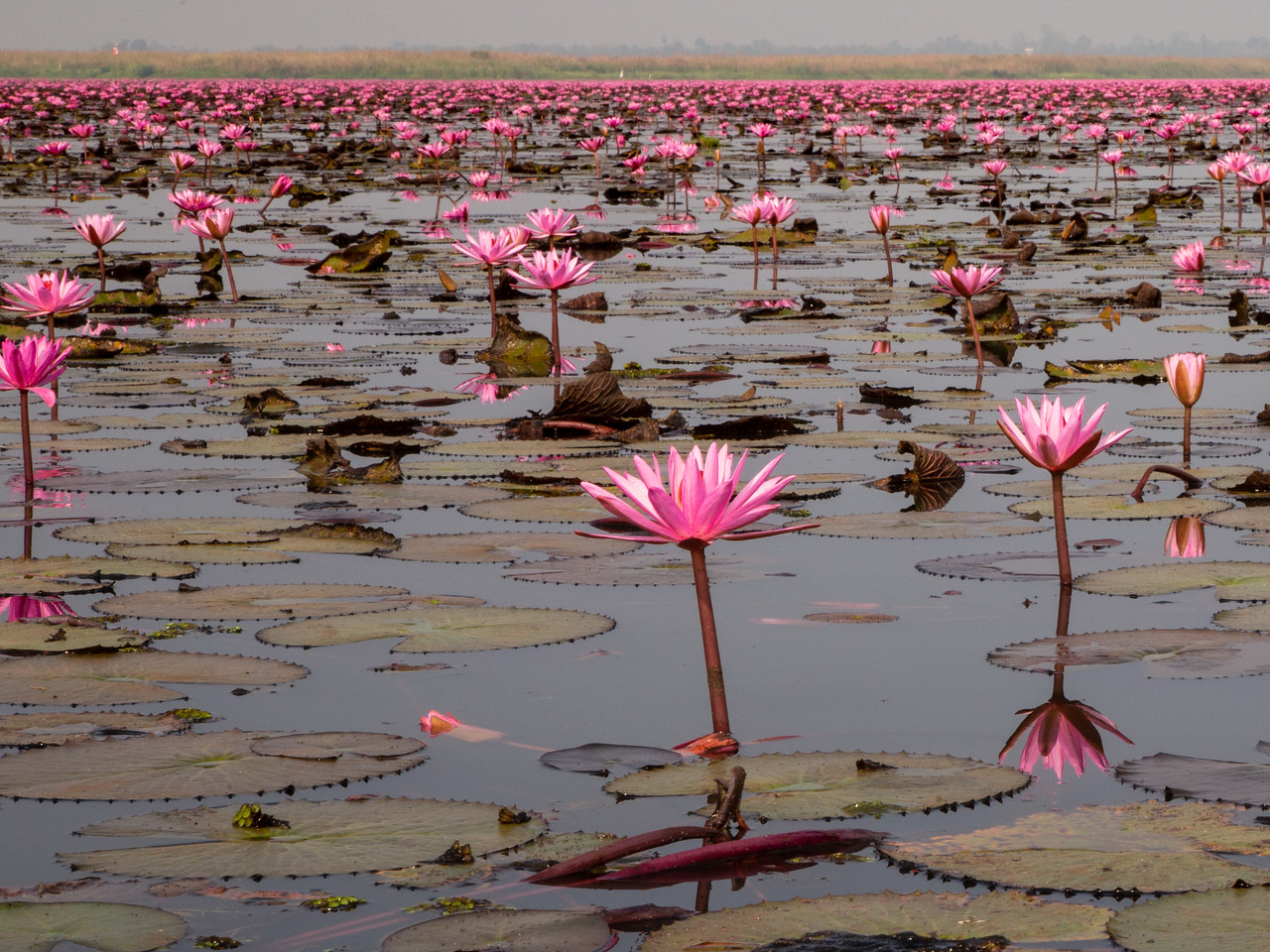 Red Lotus Sea in Thailand