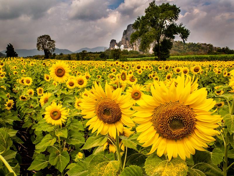 Sunflowers near Wat Phra Wankhiri, Thailand