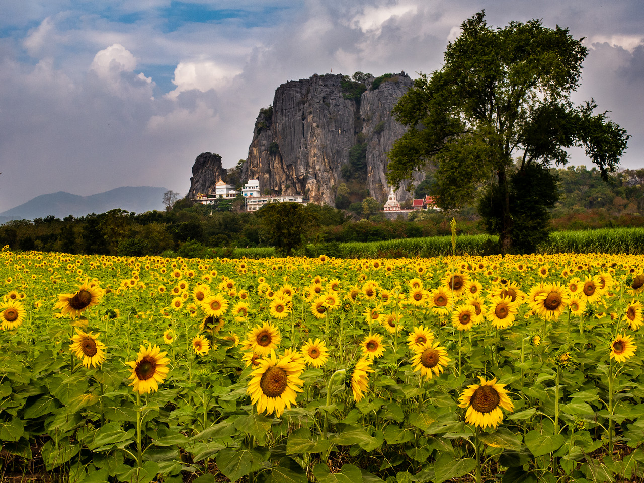 Lopburi Sunflower Field Photos