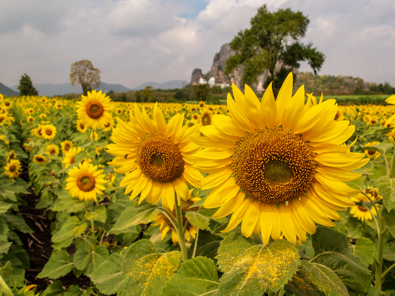 Lopburi Sunflower Field