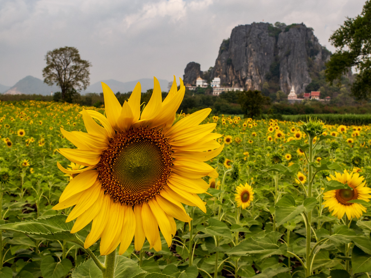 Sunflower Head in a Field Near Lopburi, Thailand