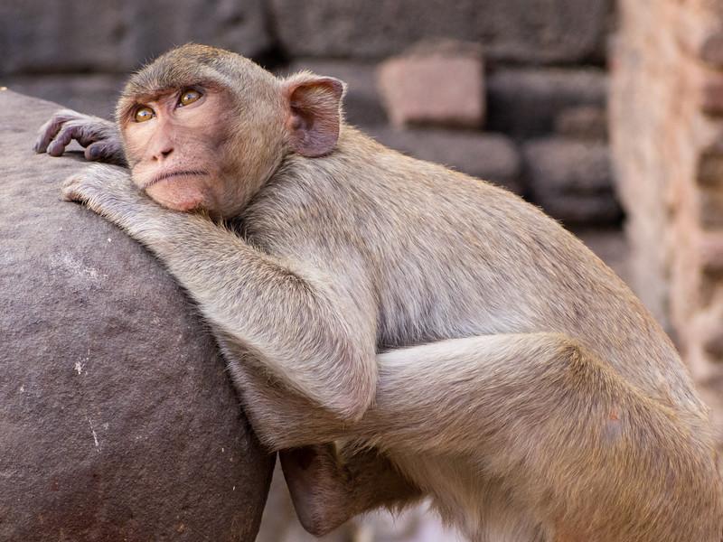 Monkeys of Lopburi