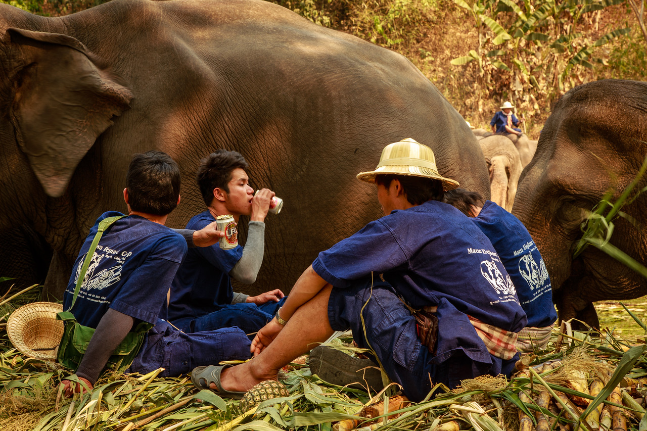 Mahouts Drink Beer With Their Elephants After the National Elephant Day Festival