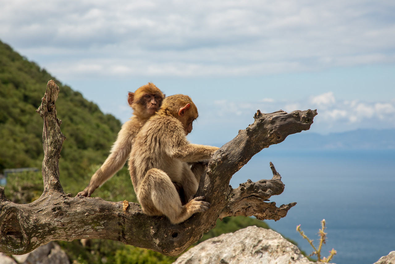 Barbary Apes with Africa in the Background on the Rock of Gibraltar