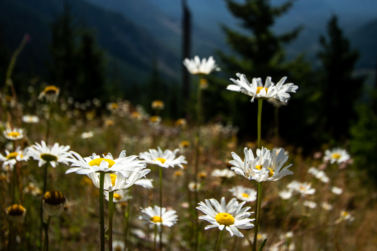 Wildflowers Grow in the Ash of Mount Saint Helens
