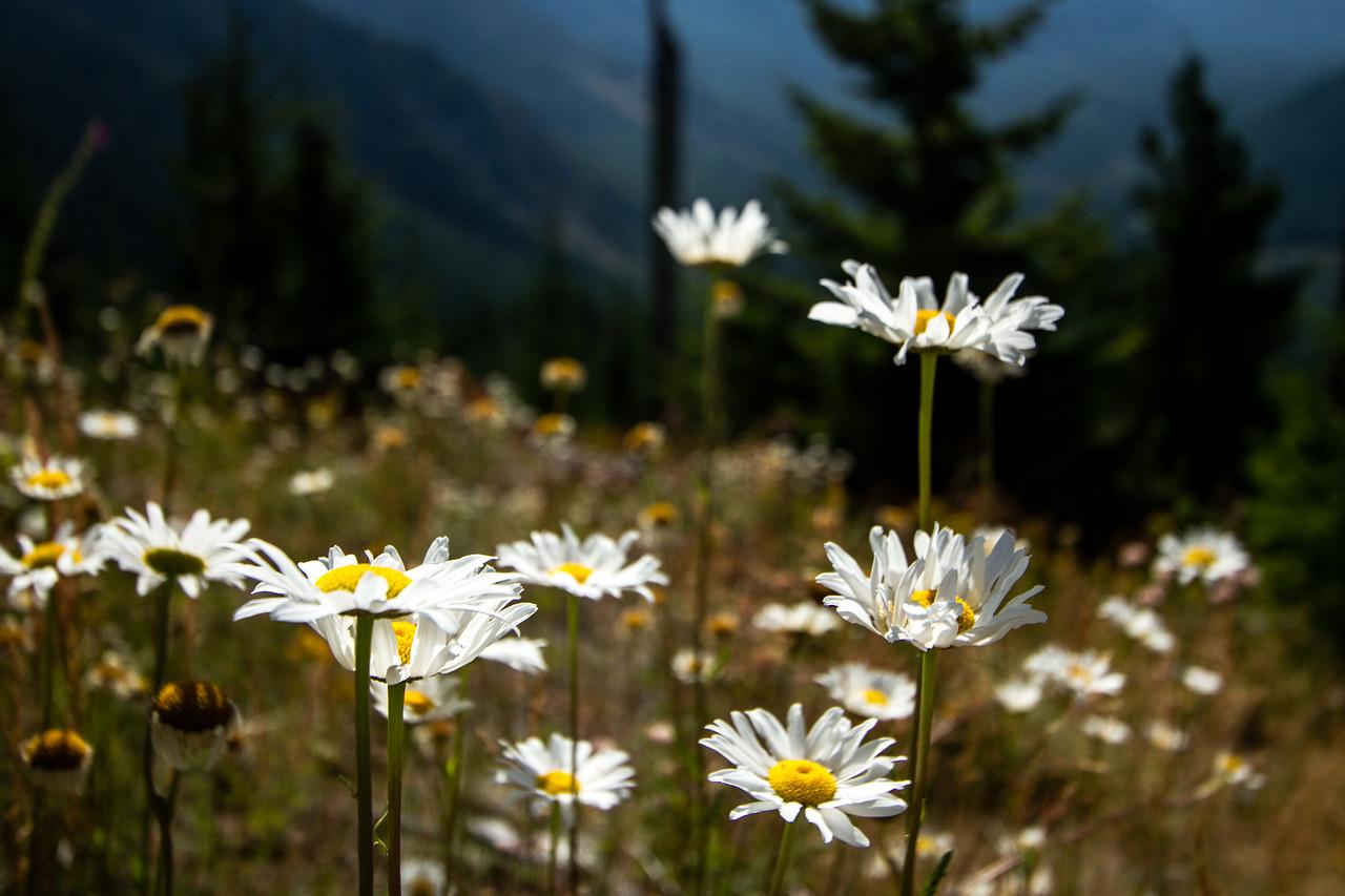 Flowers Recovering near Mt. Saint Helens, Oregon, USA