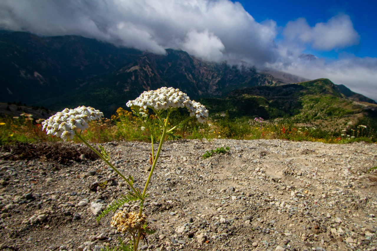 Picture of a Wildflower Growing From Ash at Mount Saint Helens