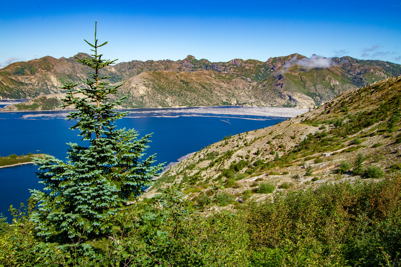 Young Trees Sprout Up From the Ash of Mount Saint Helens