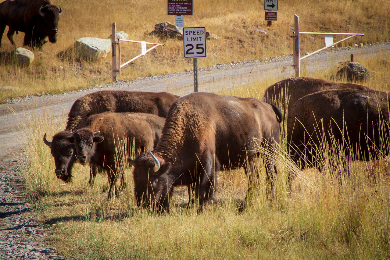Bison Grazing by Roadside at National Bison Range
