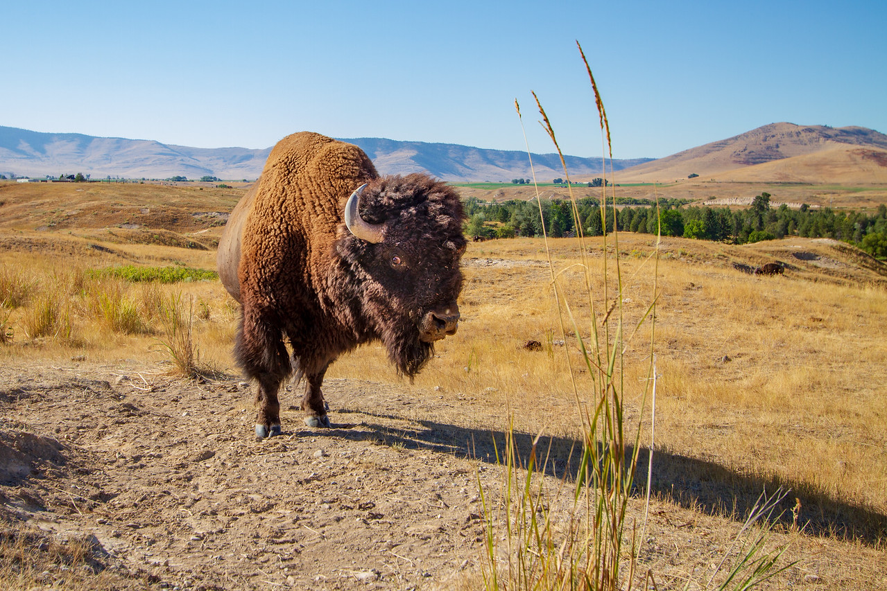 You Can Get Some Good Photos at National Bison Range from Inside Your Car