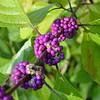 Beaturyberry