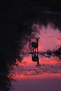 Linda Kerkau- Deer and Sunset Reflection in Creek