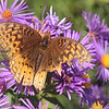 Peter Koch butterfly-F