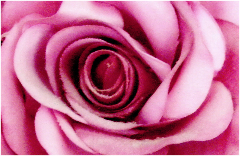Laurie Carroll - PINK ROSE