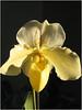 Bob Wallace- Bull Dog Orchid