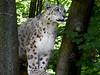 Ken Kendzy-The Snow Leopard