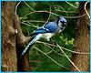Ken Black - My Blue Jay