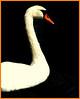Ken Black -White Swan