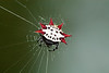 Spiny_Orb_Weaver_Nora_