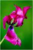 Hug-TulipWithAttitude