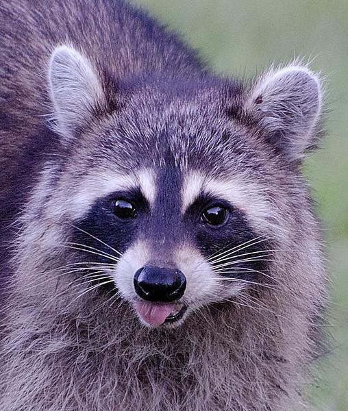 Sue Lindell-Raccoon