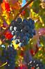 Greg Pickle - Grapes-1