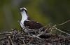 George Doerner-Osprey on nest