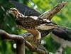 CETAS RJ Centro de Triagem de Animais Silvestres - Carcara, Pendotiba, Rio de Janeiro, Brasil, Maio 9, 2012.  (Austral Foto/Renzo Gostoli)