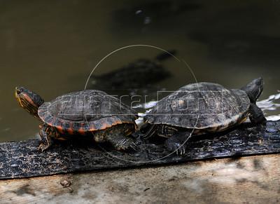 CETAS RJ Centro de Triagem de Animais Silvestres - Tartarugas, Pendotiba, Rio de Janeiro, Brasil, Maio 9, 2012.  (Austral Foto/Renzo Gostoli)