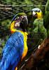 CETAS RJ Centro de Triagem de Animais Silvestres - Arara e papagaio, Pendotiba, Rio de Janeiro, Brasil, Maio 9, 2012.  (Austral Foto/Renzo Gostoli)