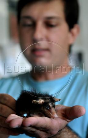CETAS RJ Centro de Triagem de Animais Silvestres - Daniel Marchesi Neves, responsavel pelo CETAS RJ mostra um filhote de gamba em Pendotiba, Rio de Janeiro, Brasil, Maio 9, 2012.  (Austral Foto/Renzo Gostoli)
