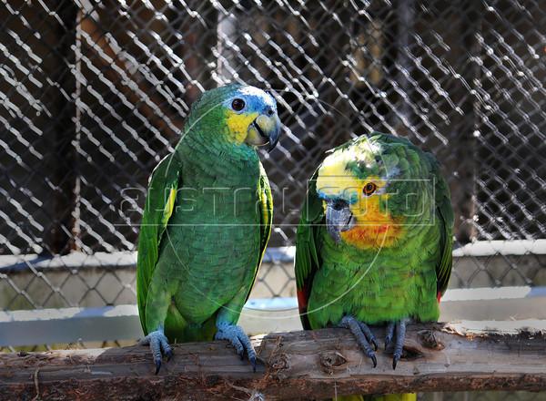 CETAS RJ Centro de Triagem de Animais Silvestres - Papagaios,  Rio de Janeiro, Brasil, Maio 9, 2012.  (Austral Foto/Renzo Gostoli)