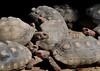CETAS RJ Centro de Triagem de Animais Silvestres - Jabutis, Pendotiba, Rio de Janeiro, Brasil, Maio 9, 2012.  (Austral Foto/Renzo Gostoli)