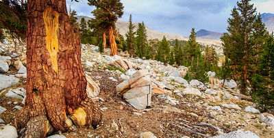 Bristlecone pine forest between 10,00 and 11,000 feet asl. a few miles south of Forester Pass.