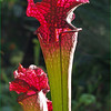 John Peterson-Back Lighted  Pitcher Plant